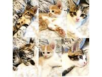 Bengal cross kittens 8 weeks old