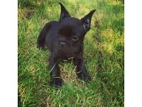 French Bulldog Beautiful Puppy