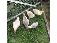 5 Emden goslings for sale.
