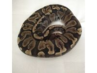 GHI royal python - on hold