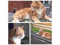 Missing / Lost ginger cat