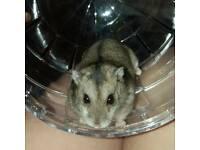 Russian dwarf hamster for rehoming,
