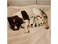 2 English Springer spaniel puppies