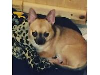 Chihuahua looking for a new home (£350) beautiful and potty trained