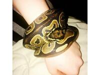 Het Rex axanthic ball python