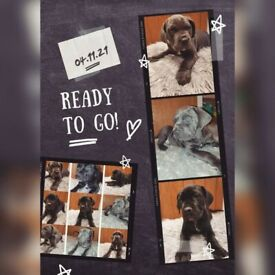 Cane Corso Puppies nearly ready to go!