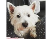 Female west highland terrier