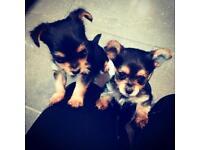 Chorkie Pups - Male - Ready 16th Dec