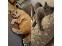 2 Beautiful British Shorthairs - 3.5 Years Old