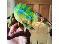 Male Panther chameleon and whole set up. 1 year old