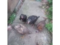Pure Aseel birds 2 pairs