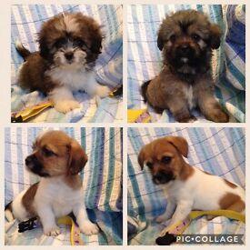 Puppies Shih Tzu Dad Papillon/Chihuahua Mum.3 boys 1 girl top right in photo.