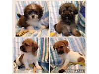 Puppies Shih Tzu Dad Papillon/Chihuahua Mum.3 boys 1 girl top right in photo.