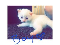 Gorgeous white kittens ready in 3 weeks!