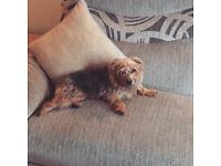Yorkie cross jack Russel free to a loving home ( will only rehome to the right person )