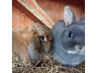 Two female rabbits £30