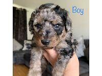 Stunning Health Tested Miniature Poodle pups available soon