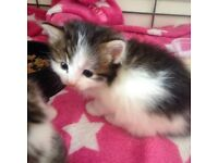2 kittens 1 boy 1 girl 9wks £20 each