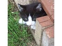 A Beautiful black and white female kitten