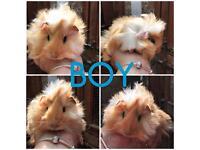 Baby boy guineas