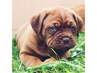 Stunning dog de Bordeaux puppy's kc registered these puppy's are a real head turner