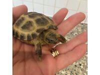 baby horsefield tortoise super tame with brand new 2ft vivarium full set up