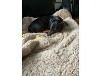 Minpin puppy for sale