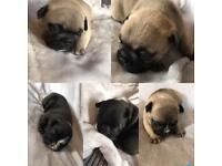 Beautiful frnchbull puppies for sale 1000