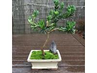 Buddhist pine Chinese yew bonsai tree