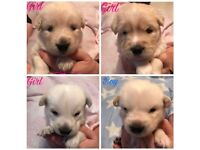 Husky cross Golden Retriever puppies for sale