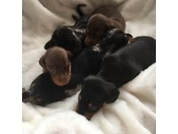 Beautiful dashund puppy's for sale