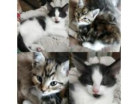 Special tiger and cow boy kittens