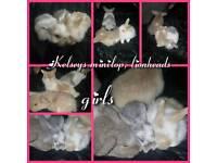 Baby minilop bunnys