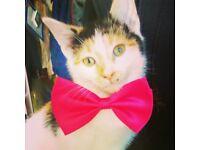 1 year old female calyco cat