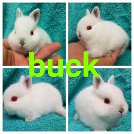 Last netherland dwarf buck for RESERVE ONLY can leave me
