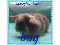 Mini lion lop baby bunny boy