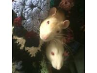 2 male top eared rats. Brothers. 8 months old