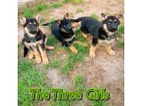 Smart German Shepherd puppies