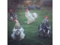 Beautiful Pekin Chicken Cockerels - Free