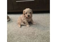 Beautiful pooton puppies for sale