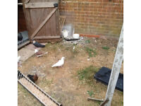 Afgan, egyptian swift pair and serbian highflighers pigeons for sale