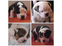 Beautiful triple carrier olde english bulldog puppies