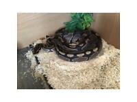Ball python +4ft viv and full set up