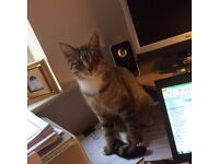 Missing Cat - Ashton in Makerfield