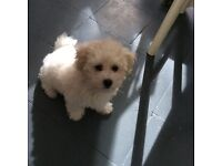 Kc registered bichon frise puppy girl