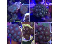 Frag pack of zoas (live coral, marine fish tank)