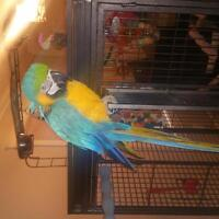 5 yr old Macaw parrot