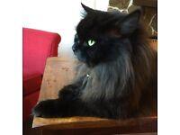 Half Persian Cat - Male - GONE