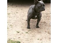 Blue French bulldog girl