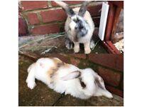 2 Adorable Rabbits and Hutch